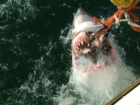 great-white-shark-closeup.jpg