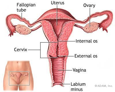 This is a Normal Uterus